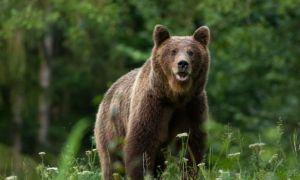 Dosar penal în cazul ursului ucis de prințul din Austria