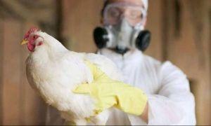 Alertă de gripă aviară într-o fermă din Mureș. Aproximativ 200.000 de păsări au fost sacrificate