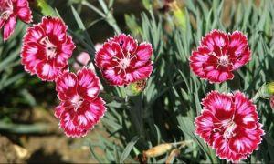 Floarea care ajută în caz de IMPOTENȚĂ și frigiditate