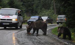 Ministrul Mediului vrea ÎMPUȘCAREA urșilor periculoși în cel mult 24 de ore
