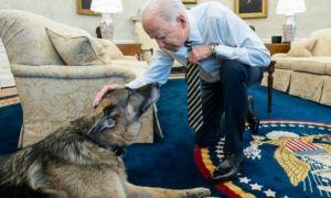 A murit CHAMP, câinele ciobănesc german al familiei BIDEN