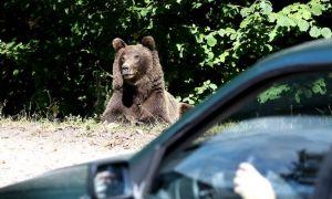 Încă un bărbat, ATACAT de urs în județul Harghita