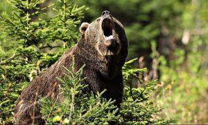 S-a dat undă verde pentru împușcarea sau eutanasierea urșilor agresivi