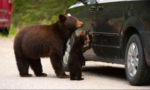 Amenzile pentru hrănirea urșilor ar putea fi dublate sau chiar triplate