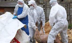 Focar de pestă porcină la Miercurea Sibiului: 80 de animale au fost sacrificate