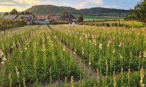 Tuberoza de Hoghilag, prima floare din România care ar putea fi protejată la nivel european