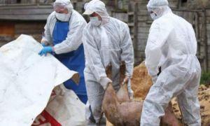 ALERTĂ: 7 focare de pestă porcină au fost identificate în Ialomița