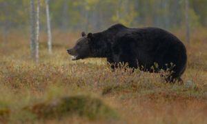 TRAGEDIE la o partidă de vânătoare, în Neamț. Un bărbat a fost SFÂȘIAT de trei urși