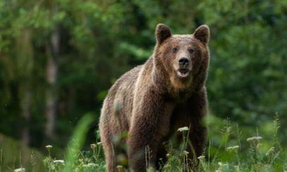 Primele măsuri după împușcarea ursului Arthur: Turiștii străini NU vor mai putea vâna în România